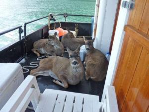Deer lying on deck of ship