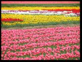 Tulip Fields10
