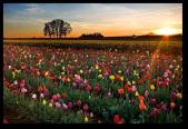 Tulip Fields11