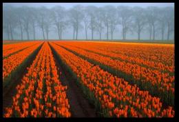 Tulip Fields12