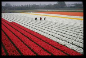 Tulip Fields14