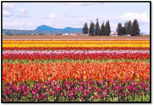 Tulip Fields16