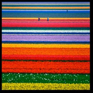 Tulip Fields17