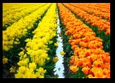 Tulip Fields2
