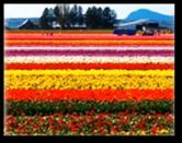 Tulip Fields3