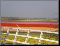Tulip Fields4