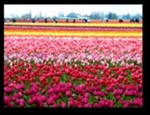 Tulip Fields4a