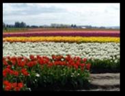 Tulip Fields6