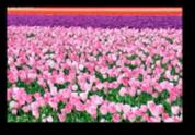 Tulip Fields9a