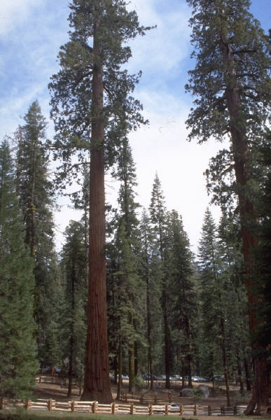 Redwwod trees
