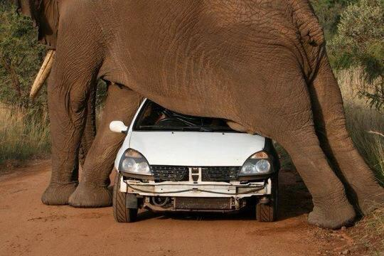 elephant standing over small car